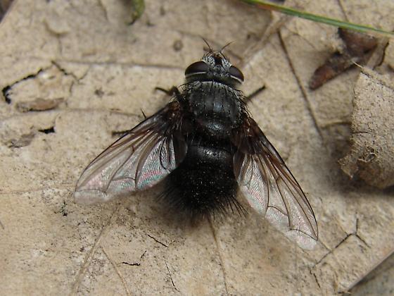 Illinois Tach - Leschenaultia