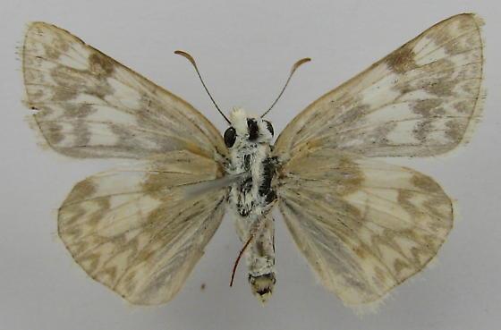 Heliopetes ericetorum - female