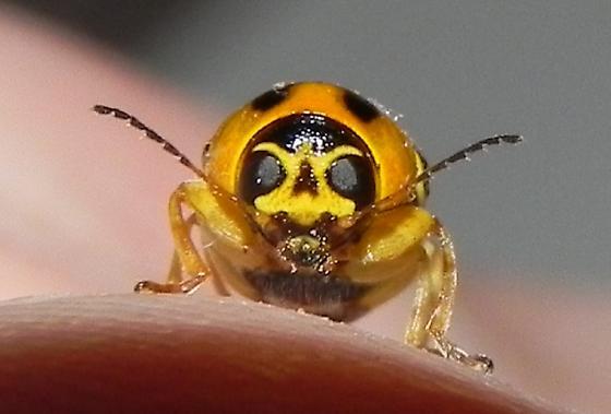 TX - 5mm leaf Beetle - Griburius undetermined