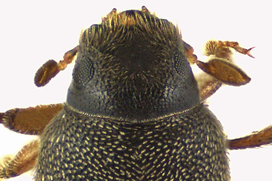 Snout and Bark Beetle - Polygraphus rufipennis