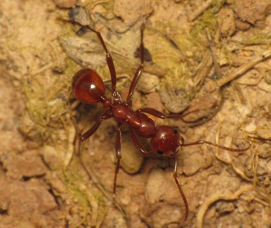 Polyergus lucidus - female