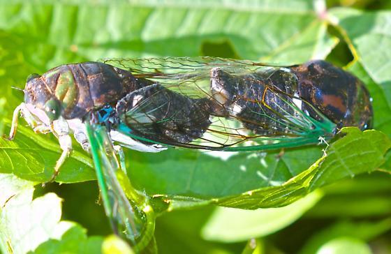 mating cicadas - Neotibicen tibicen