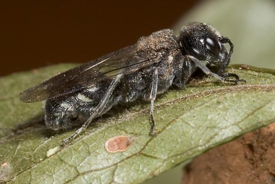 Wasp - Lycogaster pullata