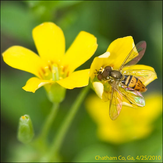 Syrphidae family, Hover or Flower Fly - Toxomerus marginatus - male - female