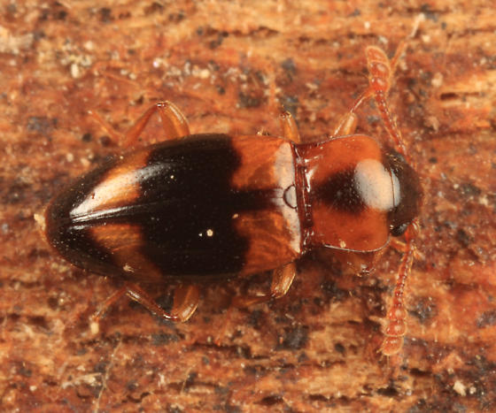 Handsome Fungus Beetle - Phymaphora pulchella - female