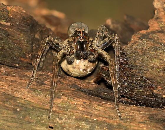 Wolf Spider or Fishing Spider ? - female