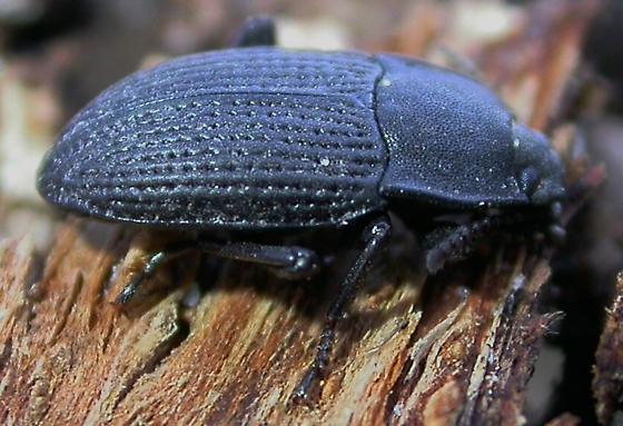 Opatrinus minimus - Alaetrinus minimus