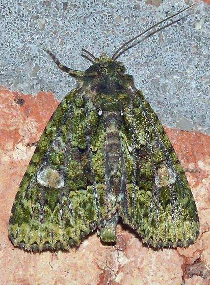 ? - Phosphila miselioides