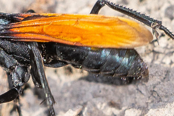 Large wasp with orange wings