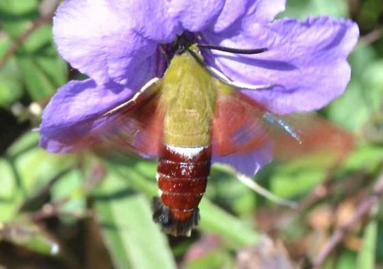 Large Moth - Hemaris thysbe