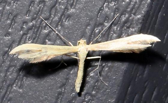 Hellinsia homodactylus - Hellinsia