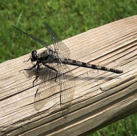 Gray Dragonfly - Tachopteryx thoreyi - female