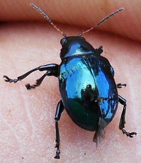 Beetle - Typophorus nigritus