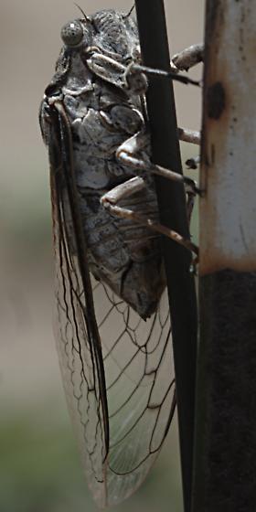 Cicada with white underparts--Cacama? - Cacama valvata