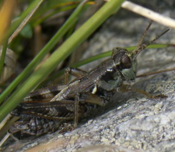 Dark grasshopper with short wings - Melanoplus fasciatus - male