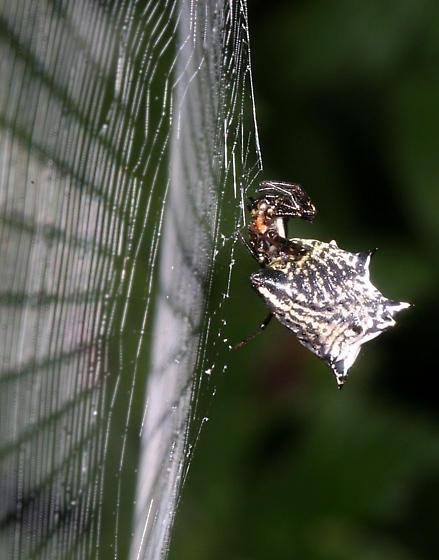 Spined Micrathena - Micrathena gracilis
