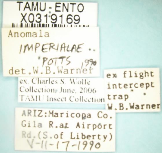 Anomala imperialae Potts - Anomala imperialae