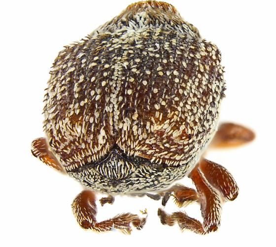 Ceutorhynchus? - Ceutorhynchus pusillus