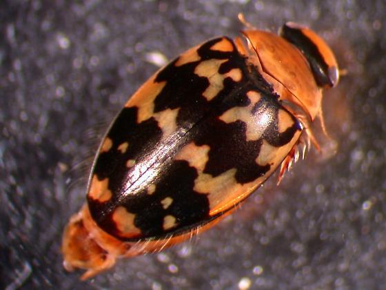 Laccophilus pictus insignis Sharp - Laccophilus pictus