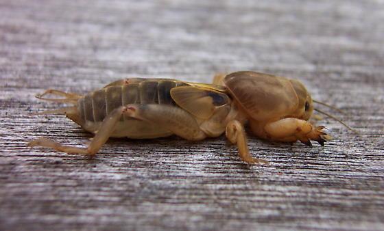 Tawny Mole Cricket - immature - Neoscapteriscus vicinus