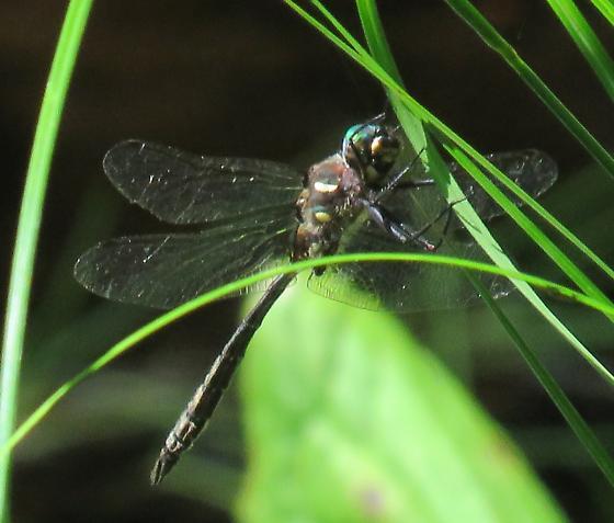 Emerald - Somatochlora elongata - male