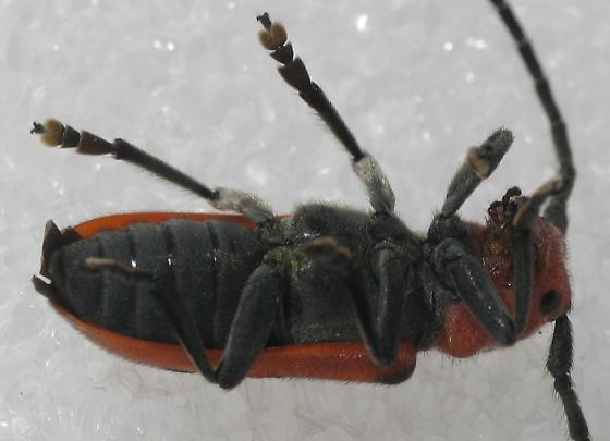 Tetraopes tetrophthalmus - Red Milkweed Beetle - Tetraopes tetrophthalmus
