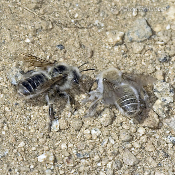 Aggregation of ground-nesting bees - Diadasia bituberculata