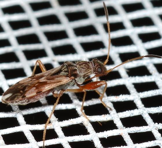 Neopamera albocincta ? - Neopamera bilobata
