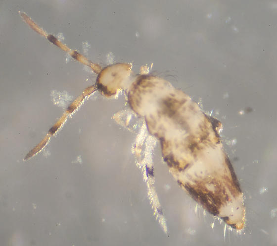 Unknown Collembola - Willowsia nigromaculata