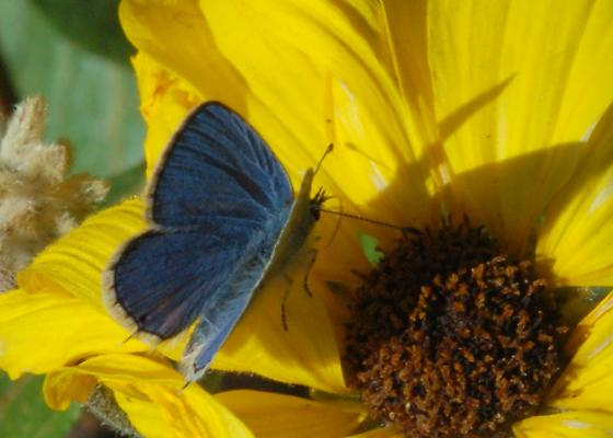 Contrary Blue - Cupido amyntula