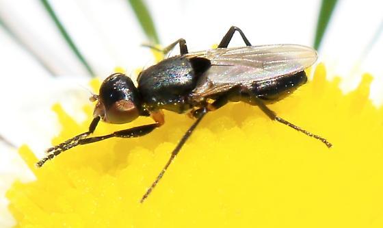 Saltella sphondylii? - Saltella sphondylii