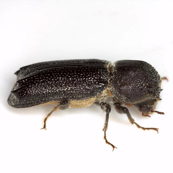 Amphicerus cornutus (Pallas) - Amphicerus cornutus - male