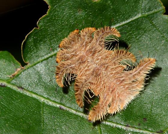 Monkey Slug (Hag Moth Larva) - Phobetron pithecium