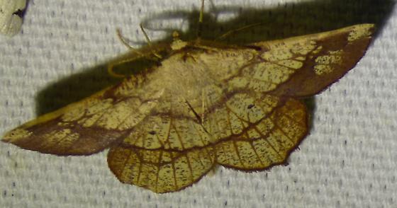 Euchlaena madusaria - Scrub Euchlaena - Euchlaena madusaria