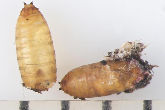 Agromyzidae, spent puparia