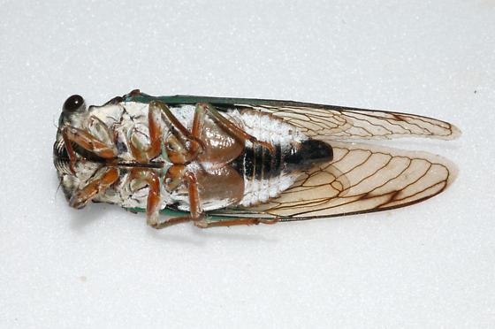 Fresh Colorful Cicada - Neotibicen lyricen