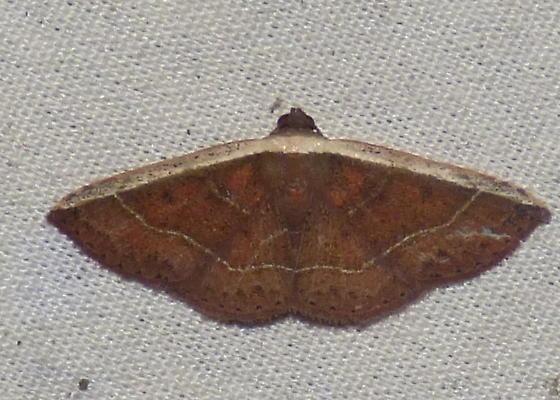 6/29/18 moth 2 - Oruza albocostaliata