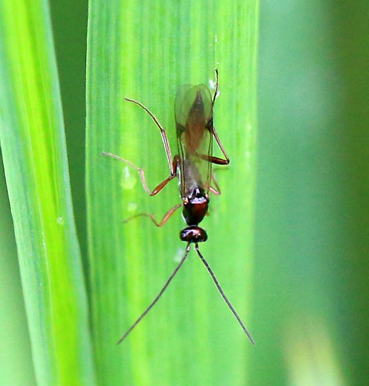 Sawfly? 2 - Proctotrupes pallidus - male