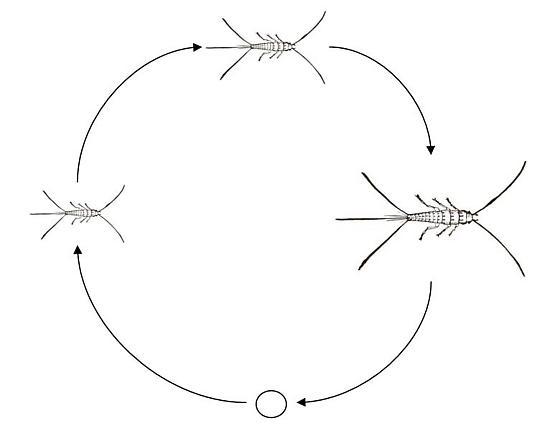 ametabolous metamorphosis