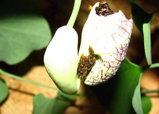 Polydamas caterpillar - Battus polydamas