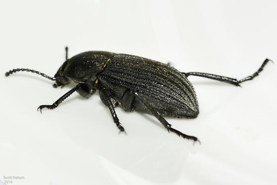 Darkling Beetle - Eleodes tricostata