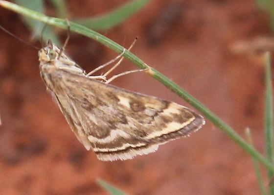 moth, pretty browns, fringe - Loxostege