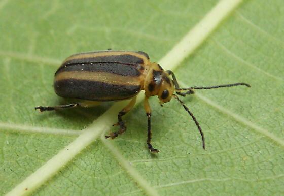 7mm yellow and black beetle - Derospidea brevicollis