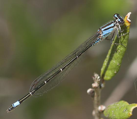 Possibly Male Ischnura kellicotti - Enallagma cardenium - female