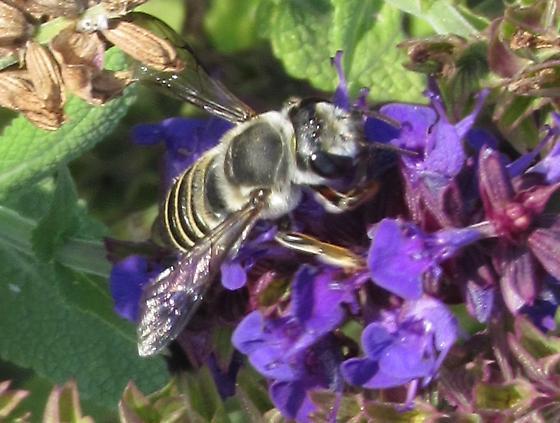 Apidae sp? - Megachile policaris