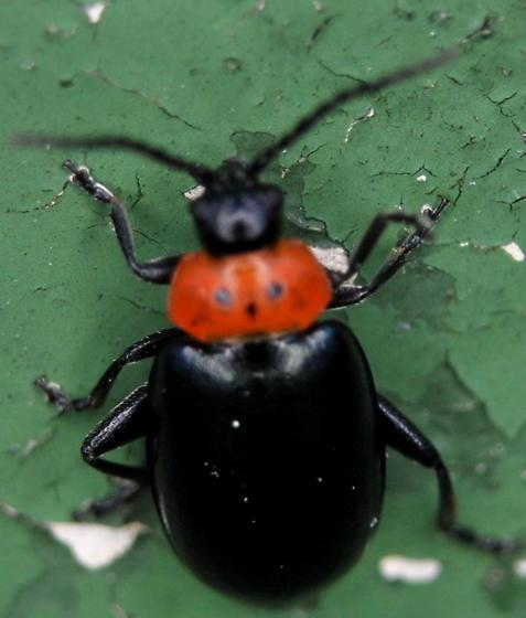 Flea Beetle - Disonycha triangularis