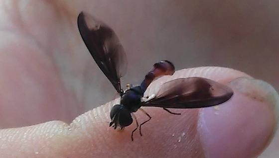 Ocyptamus fuscipennis? - Ocyptamus fuscipennis