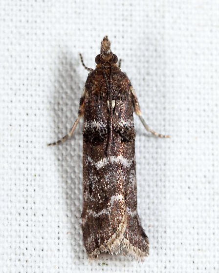 Striped Birch Pyralid - Ortholepis pasadamia