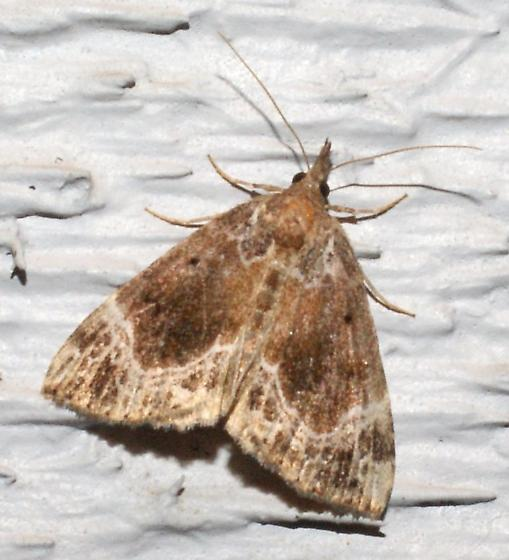 moth attracted to deck light - Hypena abalienalis