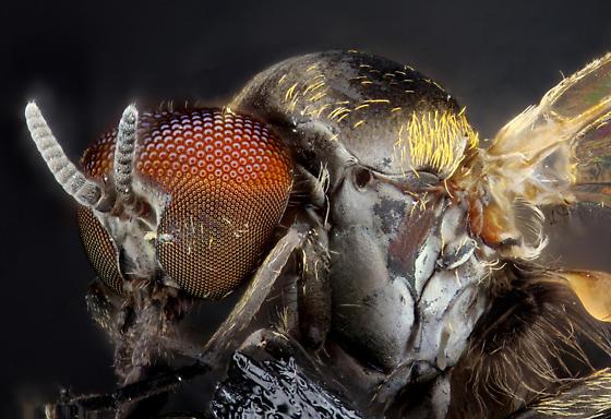 Rumplestiltskin fly - male